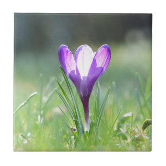 Purple Crocus in spring 03.3 Small Square Tile