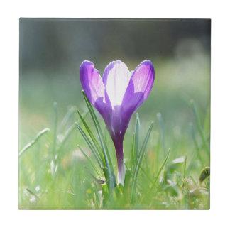 Purple Crocus in spring Small Square Tile
