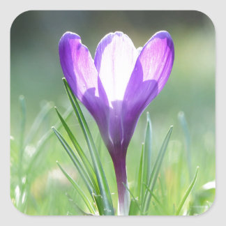 Purple Crocus in spring Square Sticker