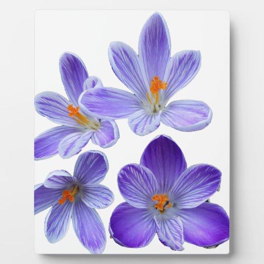Purple crocuses 02 photo plaque