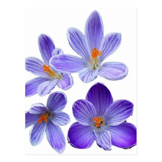 Purple crocuses 02 postcard