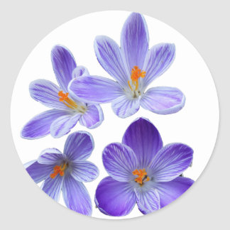 Purple crocuses 02 round sticker