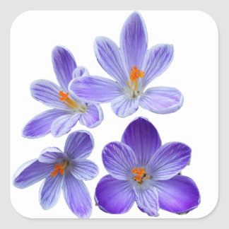 Purple crocuses 02 square sticker