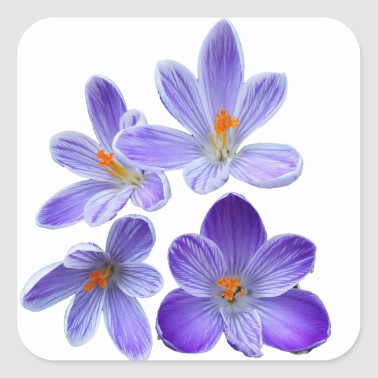 Purple crocuses 02 square sticker