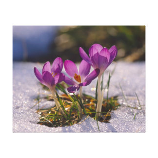 purple crocuses with snow in the winter canvas prints