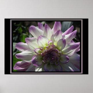 Purple Dahlia Flower Poster