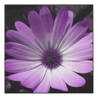Purple Daisy Flower Glossy Wall Panel
