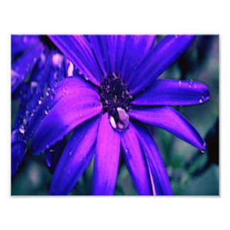 Purple Daisy Photo Print