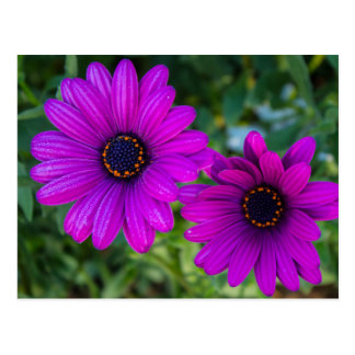 Purple Daisy Postcard