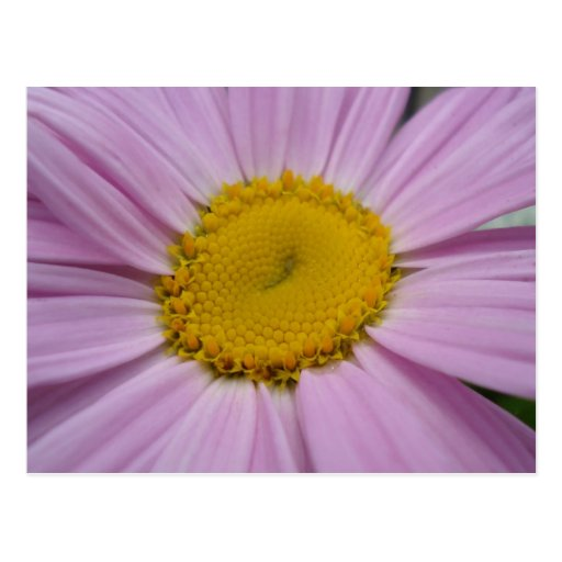 Purple Daisy Save the dates Post Card