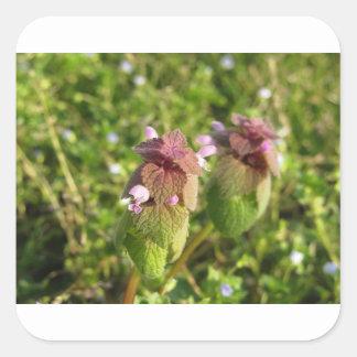 Purple Dead-nettle ( Lamium purpureum ) on green Square Sticker