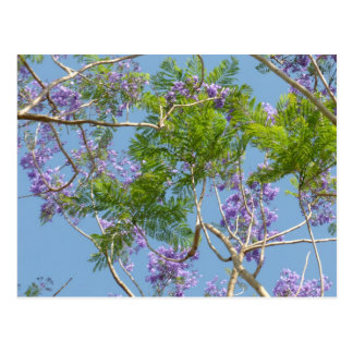 purple flowered jacaranda tree against blue sky postcard
