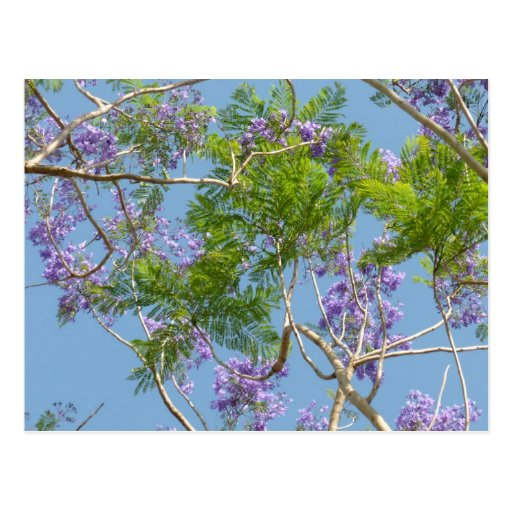 purple flowered jacaranda tree against blue sky postcards