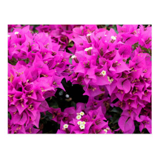 Purple Fuchsia Bougainvillea Background Postcard