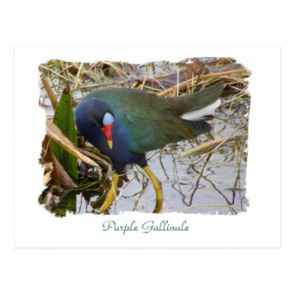 Purple Gallinule Postcard