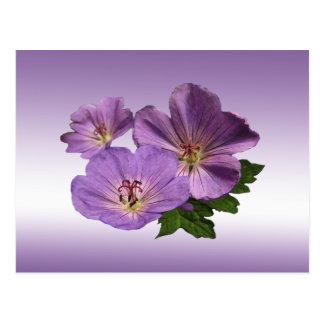 Purple Geranium Flowers Postcard