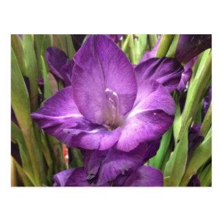 Purple Gladiolus Flower Postcard