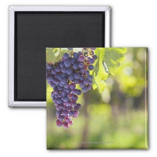 Purple grapevine magnet