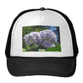 Purple Hydrangea flowers (Hydrangea macrophylla) Cap