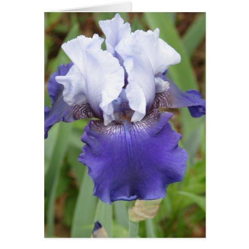 Purple Iris Cards