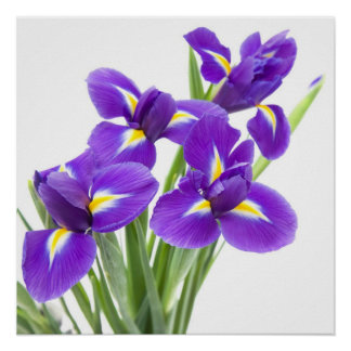 purple iris flower poster