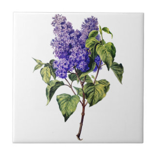 Purple Lavender Drawn From Nature Ceramic Tiles