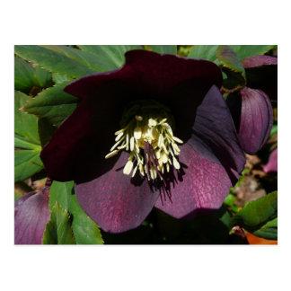 Purple Lenten Rose Easter Flower Postcard