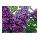 Purple Lilacs Postcard