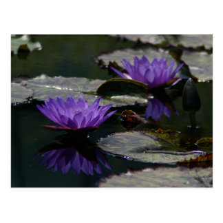 Purple Lotus Waterlilies Postcard