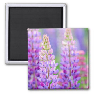 Purple Lupin Flowers Magnet