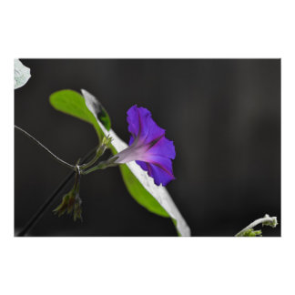 Purple Morning Glory Flower Poster