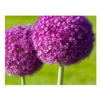 Purple Onion Flowers in Boston Public Garden Postcard
