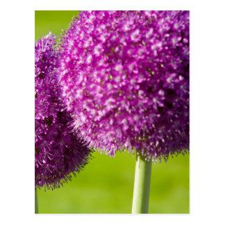 Purple Onion Flowers in Boston Public Garden Postcards