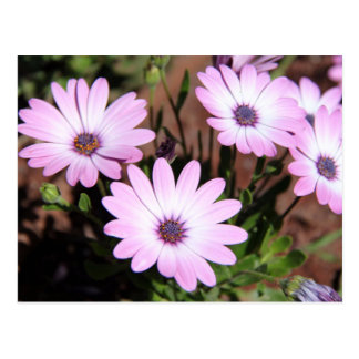 Purple Osteospermum Flowers Postcard