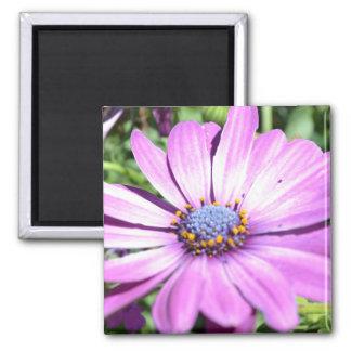 Purple Osteospermum Square Magnet