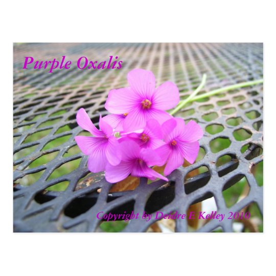 Purple Oxalis, Copyright by Deidre E Kelley 2010 Postcard