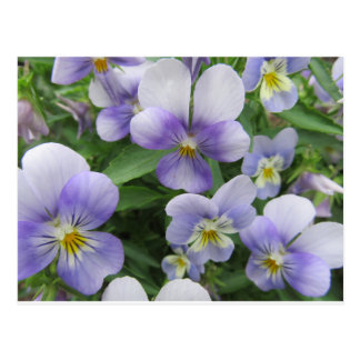 Purple Pansy Postcard For Travel Or Just Because