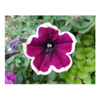 Purple Petunia Postcard