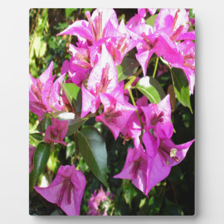 Purple Pink Bougainvillia In Blossom Plaque