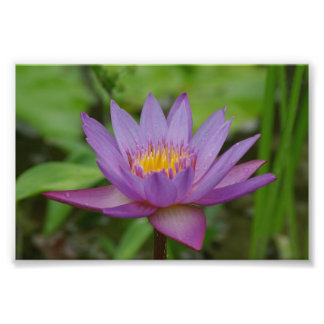 Purple Pink Water Lily Flower Photo Art