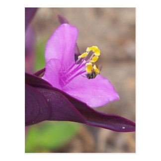 purple plant called spiderwort and a tiny bee postcard