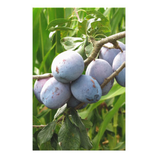 Purple plums hanging on the tree . Tuscany, Italy Customised Stationery