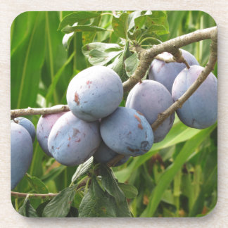 Purple plums hanging on the tree . Tuscany, Italy Drink Coaster