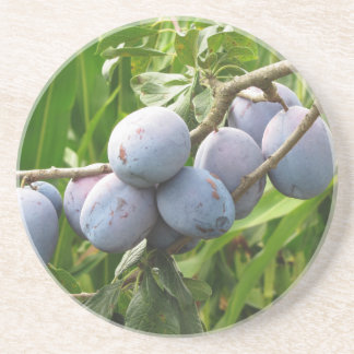 Purple plums hanging on the tree . Tuscany, Italy Sandstone Coaster