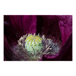 Purple Poppy Poster