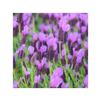 Purple Spanish Lavender Flower Canvas Print