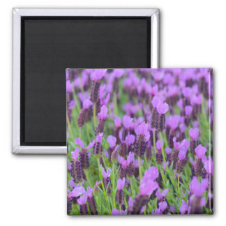 Purple Spanish Lavender Flower Magnet