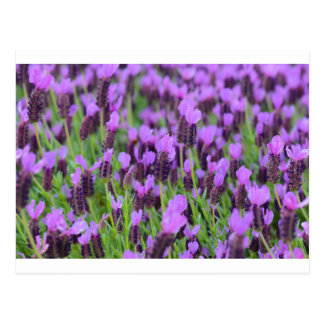 Purple Spanish Lavender Flower Postcard