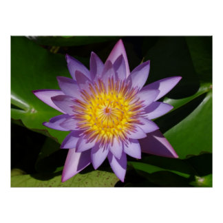 Purple Star Shaped Water Lily Poster