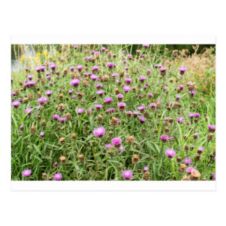 Purple thistles in English countryside Postcard
